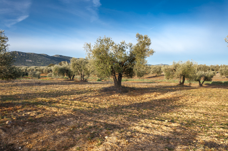 Olive groves in an agricultural landscape in La Mancha, Ciudad Real Province, Spain. In the background can be seen the Toledo Mountains