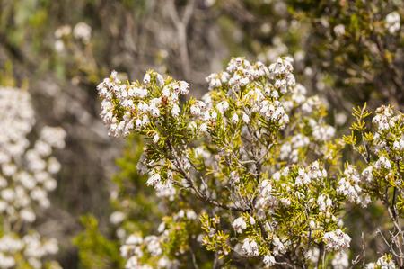 ericaceae: Flowers of Tree Heath, Erica arborea. Photo taken in Toledo Mountains, Ciudad Real Province, Spain