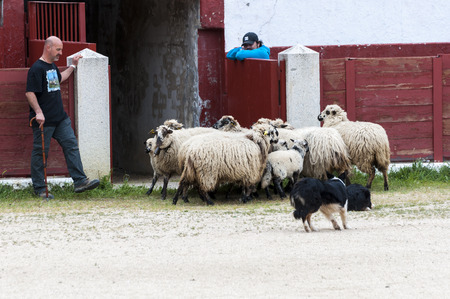viejo: Herding dog working sheep during a demonstration in Colmenar Viejo, Madrid, Spain on April 25, 2015. Editorial
