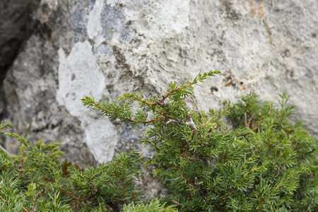 Detail of branches and leaves of Common Juniper, Juniperus communis subsp. alpina. Photo taken in Saliencia Valley, Somiedo Nature Reserve. It is located in the central area of the Cantabrian Mountains in the Principality of Asturias in northern Spain Stock Photo