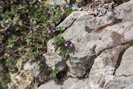 Detail of leaves and flowers of Mother-of-Thyme, Thymus praecox. Photo taken in Saliencia Valley, Somiedo Nature Reserve. It is located in the central area of the Cantabrian Mountains in the Principality of Asturias in northern Spain
