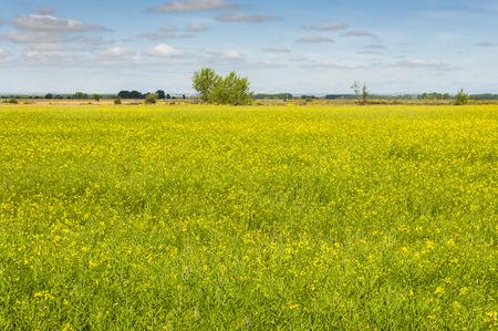 Rapeseed fields in the plain of the River Esla, in Leon Province, Spain Banco de Imagens