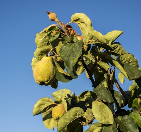Quince foliage and ripening fruit. Kit is the sole member of the genus Cydonia in the family Rosaceae Stock Photo