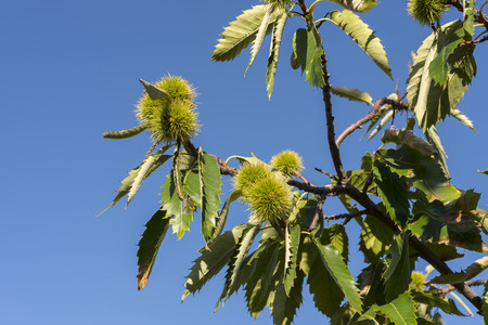 Unripe chestnuts on the branch Stock Photo