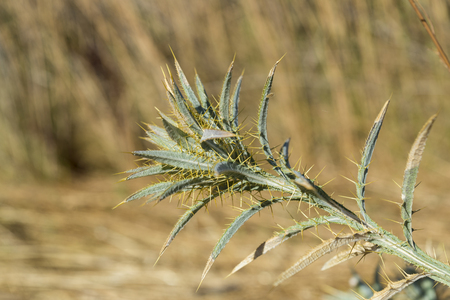 Woolly distaff thistle, Carthamus lanatus, in a stubble field. Photo taken in Ciudad Real Province, Spain