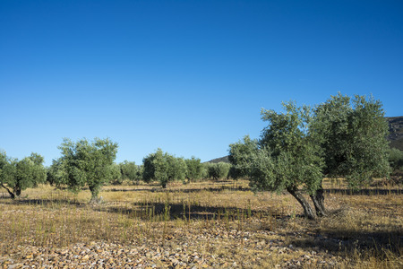 Olive groves in La Mancha, Ciudad Real, Spain