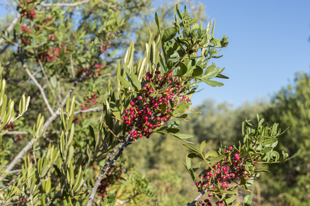 Foliage and fruits of Mastic tree, Pistacia lentiscus. It is a species in the family Anacardiaceae native to the Mediterranean region. Photo taken in Ciudad Real Province, Spain