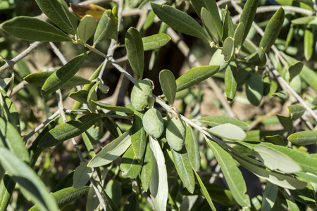 Olives of the Cornicabra variety on the branch. Photo taken in Ciudad Real Province, Spain Stock Photo