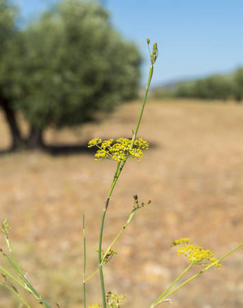 Flowers and leaves of fennel, Foeniculum vulgare. Photo taken in Ciudad Real Province, Spain