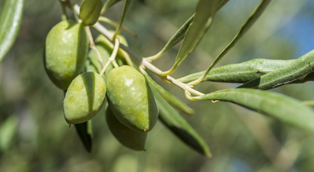 the arable land: Olives of the Cornicabra variety on the branch. Photo taken in Ciudad Real Province, Spain Stock Photo