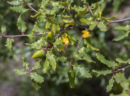 fagaceae: Foliage and acorns of Gall Oak, Quercus faginea. Photo taken in Guadalajara Province, Spain.