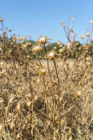 orden: Dry flowers of Milk thistle, Silybum marianum. Traditional extract is made for the seeds and is widely used in alternative medicine. Photo taken in Ciudad Real Province, Spain