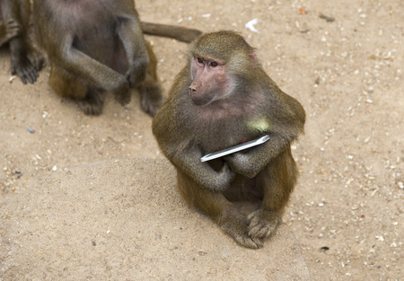 Yellow baboon playing with a smartphone in a zoo Stock fotó