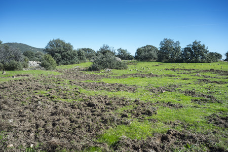 Meadows rooted by wild boars in Hoyo de Manzanares, province of Madrid, Spain.