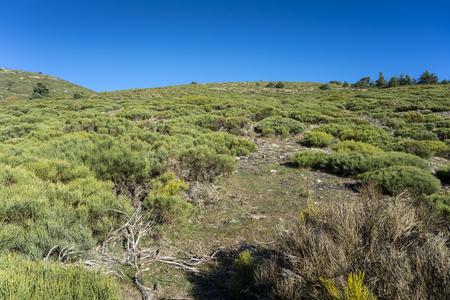 Padded brushwood (Cytisus oromediterraneus) near Hornillo Stream, in Guadarrama Mountains National Park, Spain