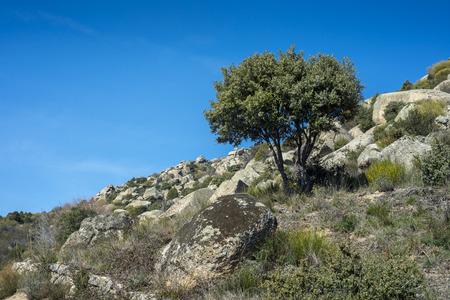 Holm Oak tree (Quercus ilex subsp. rotundifolia) in La Cabrera Range, Madrid, Spain
