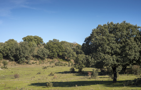 Holm oak forest, Quercus ilex subsp. rotundifolia, and Mediterranean pastures next to the city of Cerceda, in the province of Madrid, Spain Stock Photo