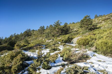 Scots Pine forest (Pinus sylvestris), and padded brushwood (Juniperus communis subsp. alpina and Cytisus oromediterraneus) in the municipality of Rascafria, in Guadarrama Mountains National Park, province of Madrid, Spain