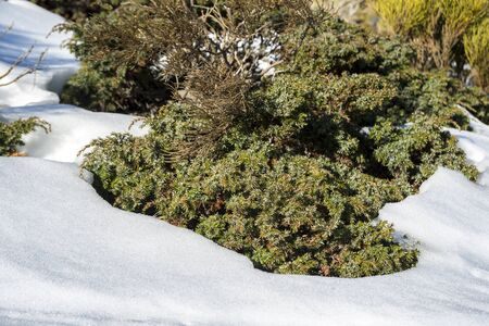 Padded brushwood (Juniperus communis subsp. alpina) in the municipality of Rascafria, in Guadarrama Mountains National Park, province of Madrid, Spain