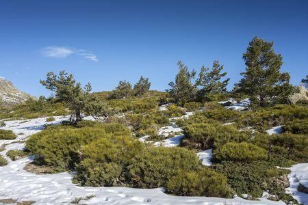 Padded brushwood (Juniperus communis subsp. alpina and Cytisus oromediterraneus) in the municipality of Rascafria, next to de Penalara Lagoon, in Guadarrama Mountains National Park, province of Madrid, Spain Фото со стока