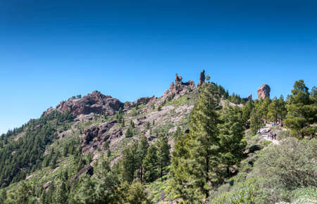 Canary Island pine forest, Pinus canariensis, in Nublo Rural Park, in the interior of the Gran Canaria Island, Canary Islands, Spain. In the background it can be seen the Roque Nublo peak (clouded rock, rock in the clouds).
