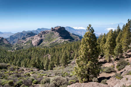 Canary Island pine forest, Pinus canariensis, in Nublo Rural Park, in the interior of the Gran Canaria Island, Canary Islands, Spain. In the background it can be seen the Mount Teide, a volcano on the island of Tenerife