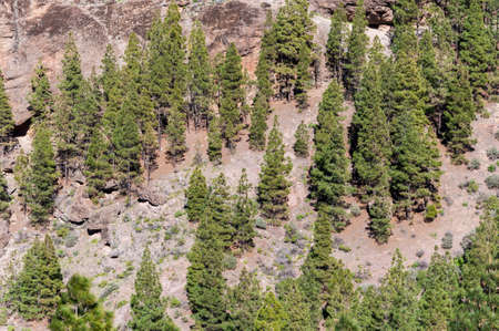 Canary Island pine forest, Pinus canariensis, in Nublo Rural Park, in the interior of the Gran Canaria Island, Canary Islands, Spain