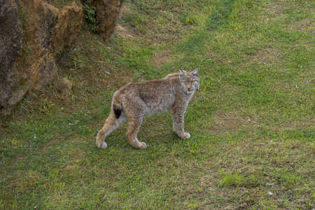 Eurasian lynx, Lynx lynx. It is a wildcat native to Northern, Central and Eastern Europe to Central Asia and Siberia