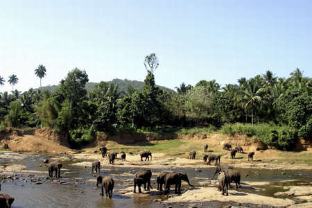 habitats: Elephants drinking water from the river.