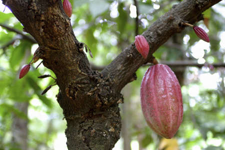 Cocoa pods hanging on the cocoa tree.