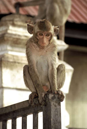 deep in thought: Monkey in deep thought.