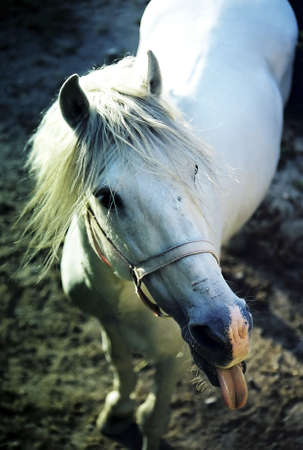 tongue out: Horse sticking out its tongue.