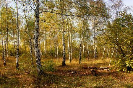 Autumn in the birch grove