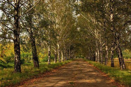 Birch alley in autumn