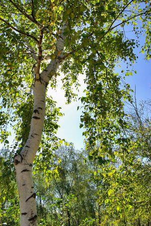 penumbra:  Silver birch