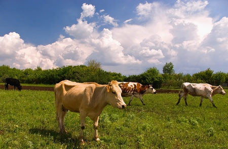 Cows in the spring meadow Stock Photo