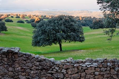 Holm oak on green field behind stone wall