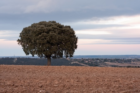 Holm oak on plowed field Stock Photo