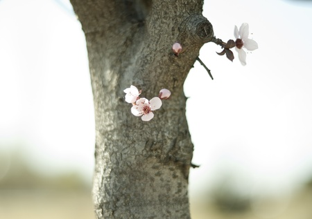 cherry blossom in early spring Stock Photo - 12869309