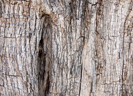a texture of an olive tree bark photo