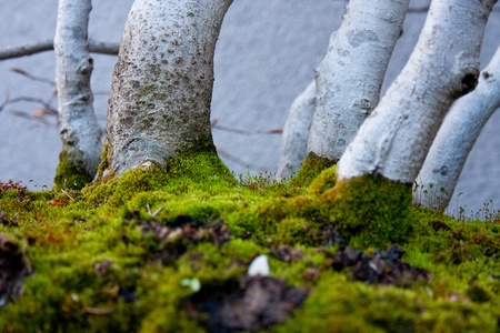 fagaceae: photograph taken from the bottom of a bonsai which shows the soil moss