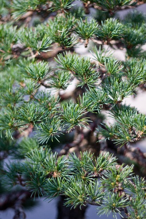A part of bonsai foliage, japanese white pine photo
