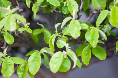 A part of bonsai foliage, chinese quince Stock Photo - 13170022