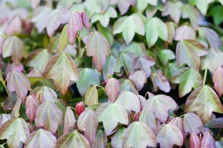 A part of bonsai foliage, trident maple photo