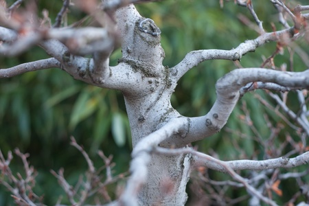 fagaceae: several trunks and branches of a bonsai Stock Photo