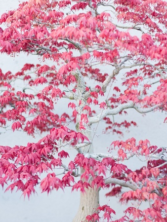 aceraceae: A part of bonsai foliage, five pointed maple Stock Photo