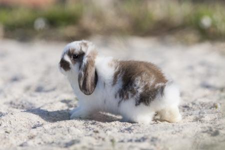 pelage: belier breed Bunny freely in the field
