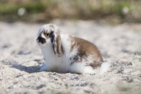 belier breed Bunny freely in the field