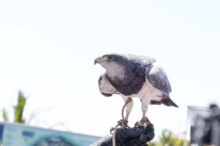 falconry: Hawk perched on the glove of a person practicing falconry