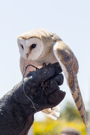 falconry: owl on the hand of a person practicing falconry